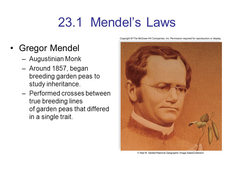 23.1 Mendel's Laws Gregor Mendel –Augustinian Monk –Around 1857, began breeding garden peas to study inheritance. –Performed crosses between true bree