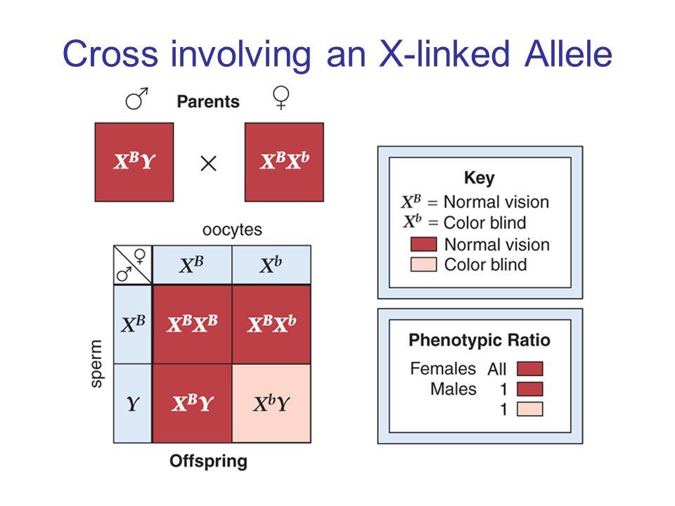 Cross involving an X-linked Allele