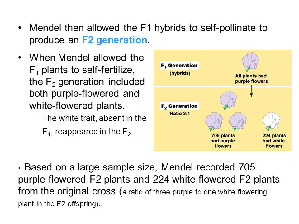 Mendel reasoned that the heritable factor for white flowers was present in the F 1 plants, but it did not affect flower color.