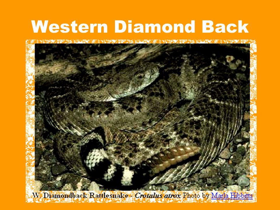 Western Diamond Back