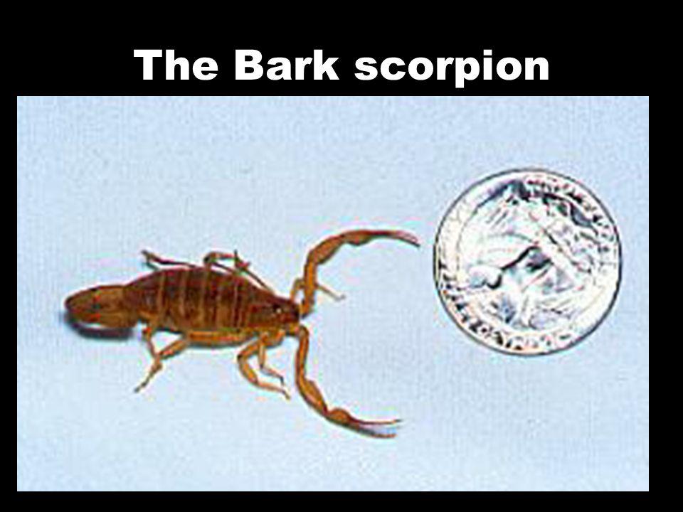 The Bark scorpion