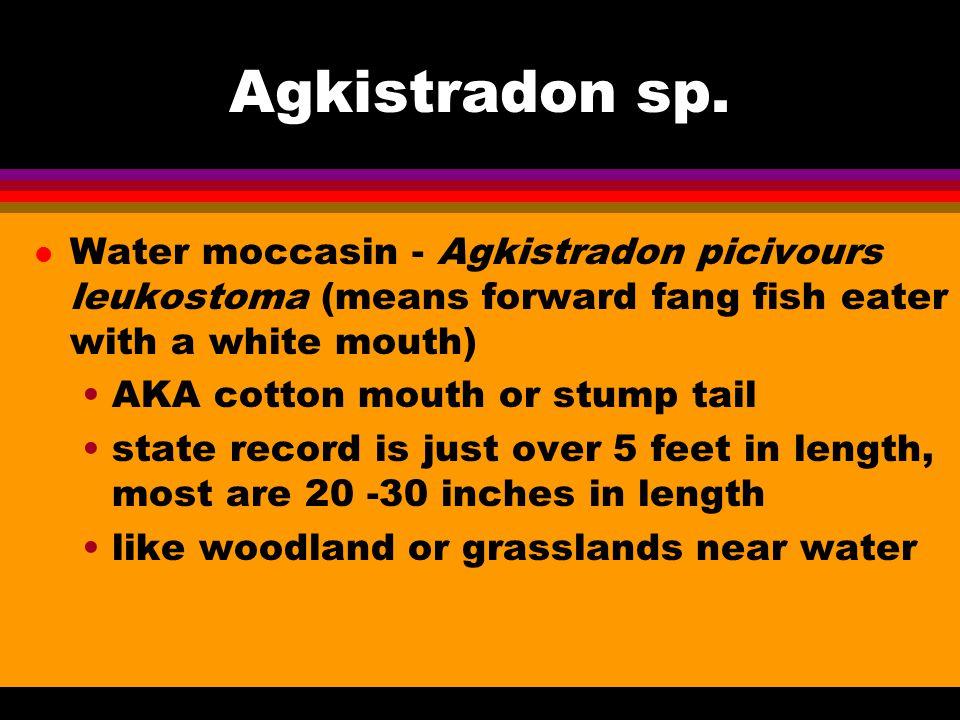 Agkistradon sp.