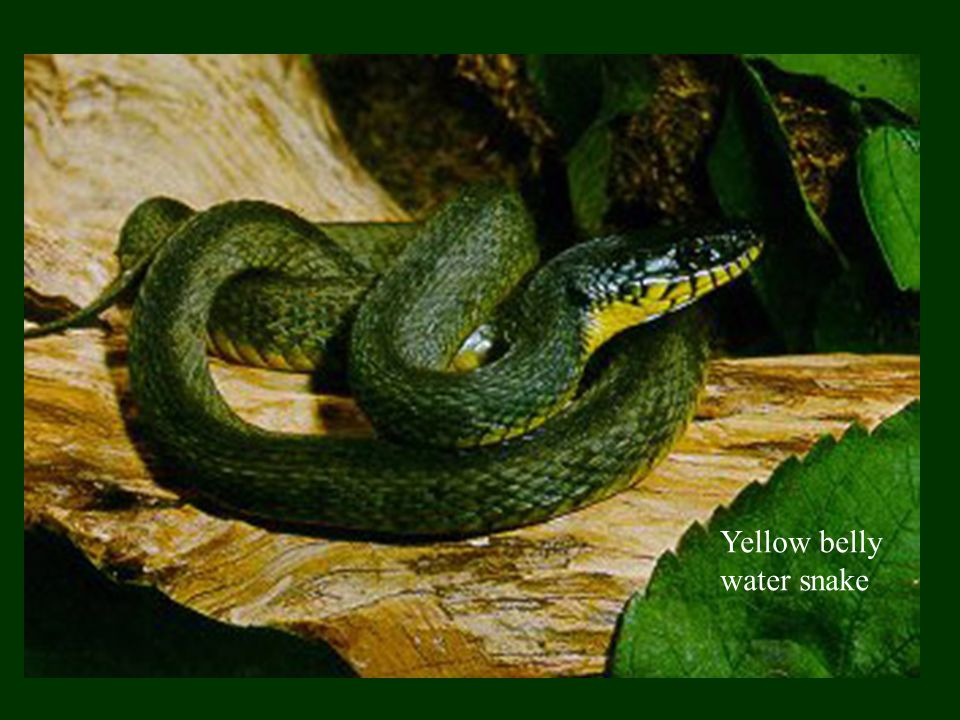 Yellow belly water snake