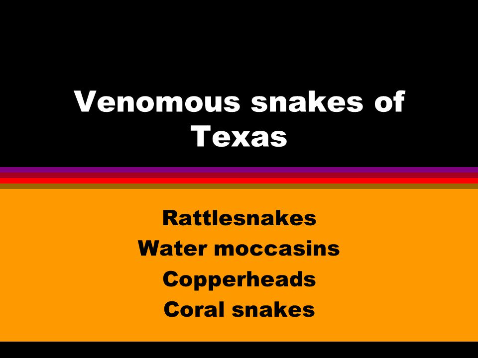 Venomous snakes of Texas Rattlesnakes Water moccasins Copperheads Coral snakes