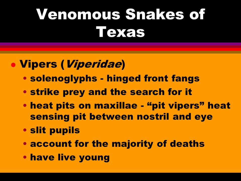 Venomous Snakes of Texas l Vipers (Viperidae) solenoglyphs - hinged front fangs strike prey and the search for it heat pits on maxillae - pit vipers heat sensing pit between nostril and eye slit pupils account for the majority of deaths have live young