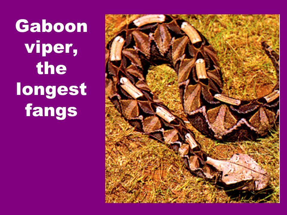 Gaboon viper, the longest fangs