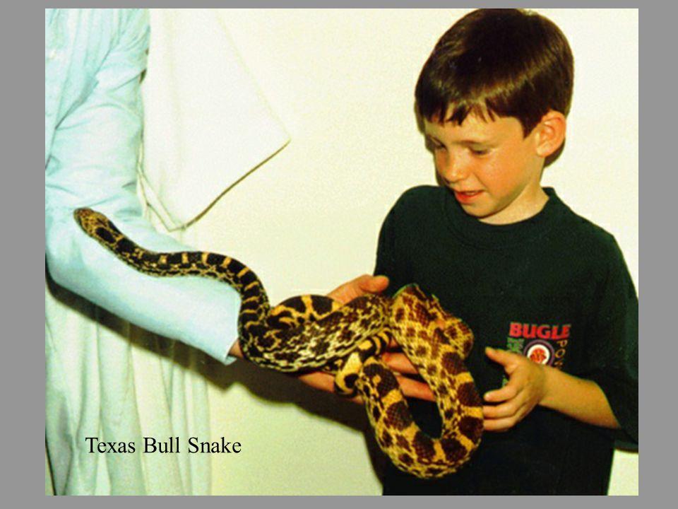 Texas Bull Snake