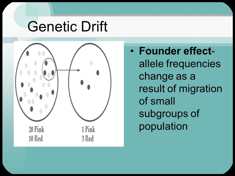 Genetic Drift Founder effect- allele frequencies change as a result of migration of small subgroups of population