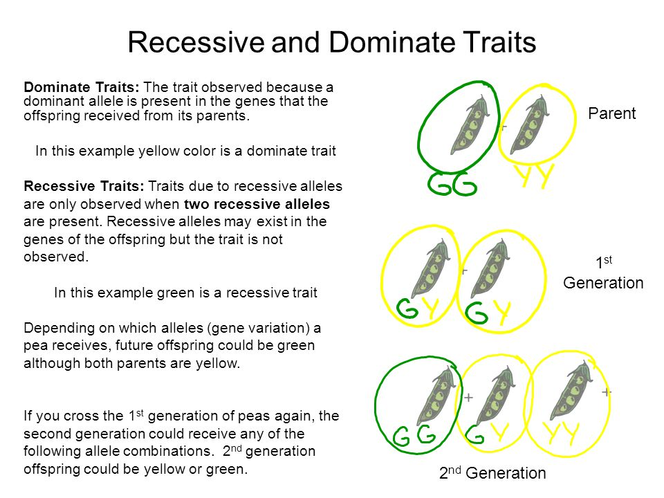 Recessive and Dominate Traits Parent 1 st Generation 2 nd Generation Dominate Traits: The trait observed because a dominant allele is present in the genes that the offspring received from its parents.