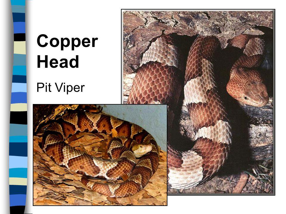 Copper Head Pit Viper