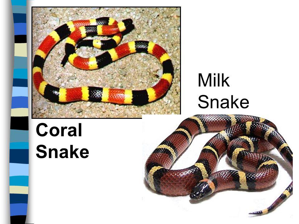 Coral Snake Milk Snake