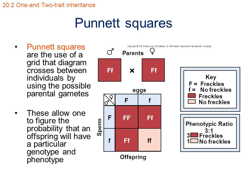 Punnett squares Punnett squares are the use of a grid that diagram crosses between individuals by using the possible parental gametes These allow one