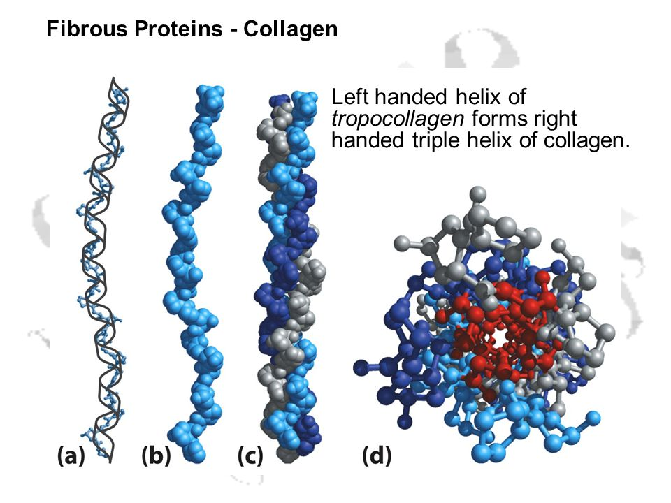 Fibrous Proteins - Collagen Left handed helix of tropocollagen forms right handed triple helix of collagen.