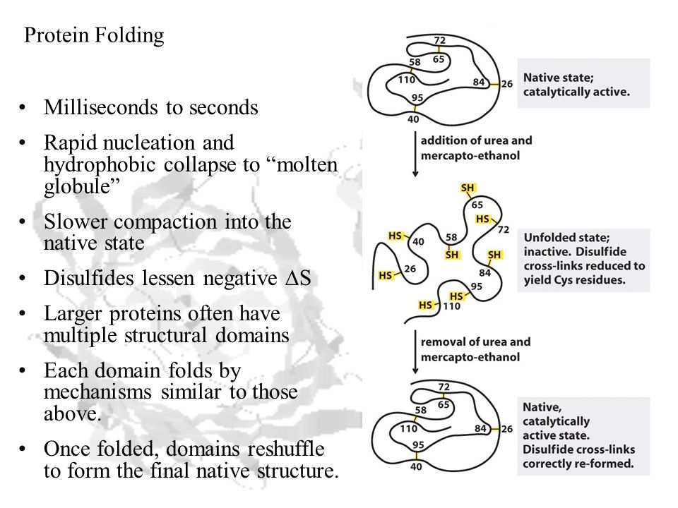 Milliseconds to seconds Rapid nucleation and hydrophobic collapse to molten globule Slower compaction into the native state Disulfides lessen negative  S Larger proteins often have multiple structural domains Each domain folds by mechanisms similar to those above.