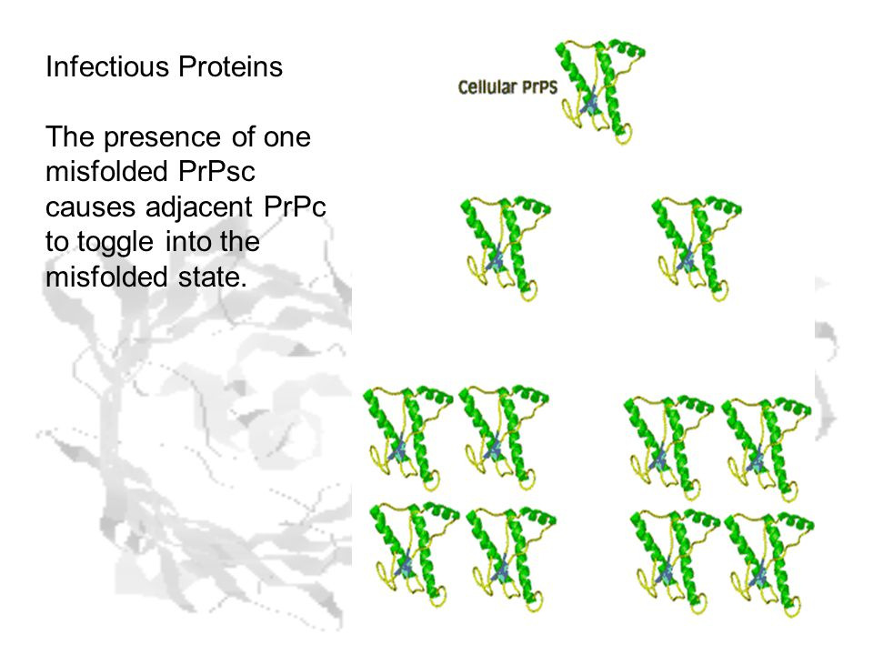 Infectious Proteins The presence of one misfolded PrPsc causes adjacent PrPc to toggle into the misfolded state.