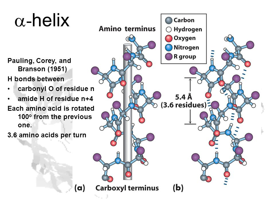 Pauling, Corey, and Branson (1951) H bonds between carbonyl O of residue n amide H of residue n+4 Each amino acid is rotated 100 o from the previous one.