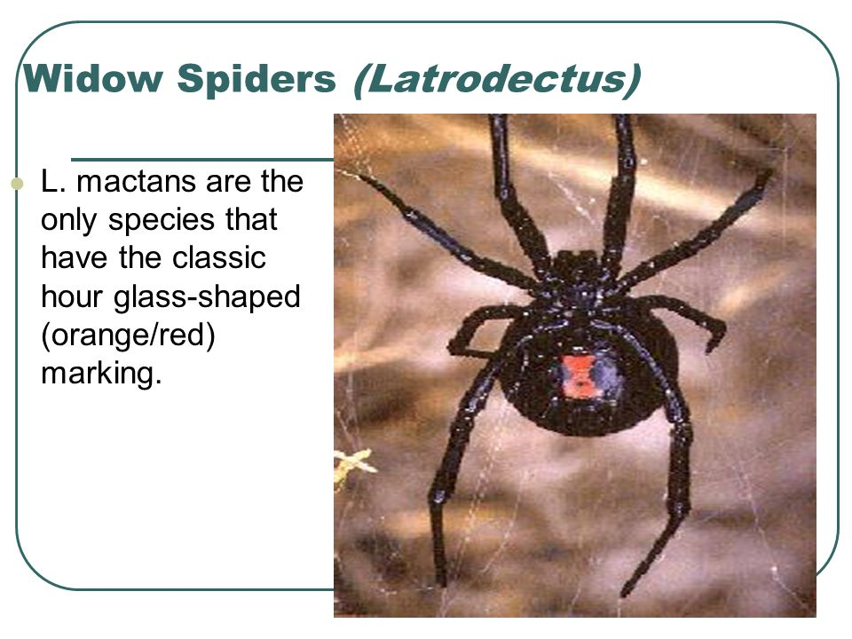 Widow Spiders (Latrodectus) L.