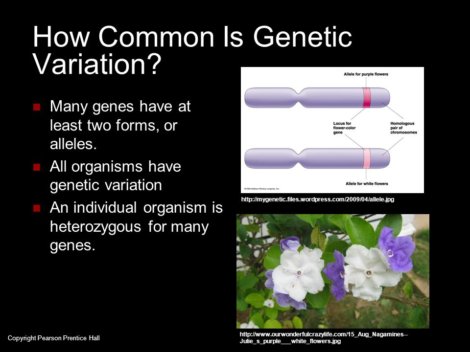 How Common Is Genetic Variation? Many genes have at least two forms, or alleles. All organisms have genetic variation An individual organism is hetero