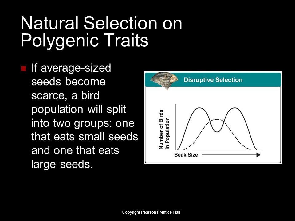Natural Selection on Polygenic Traits If average-sized seeds become scarce, a bird population will split into two groups: one that eats small seeds an
