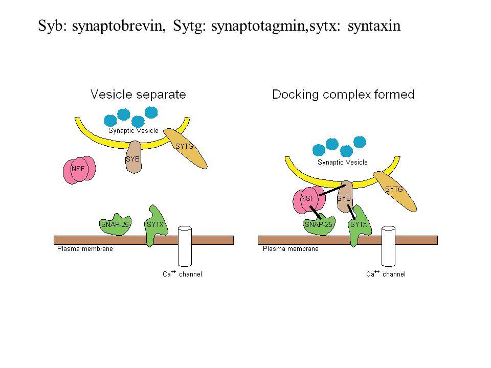 Syb: synaptobrevin, Sytg: synaptotagmin,sytx: syntaxin