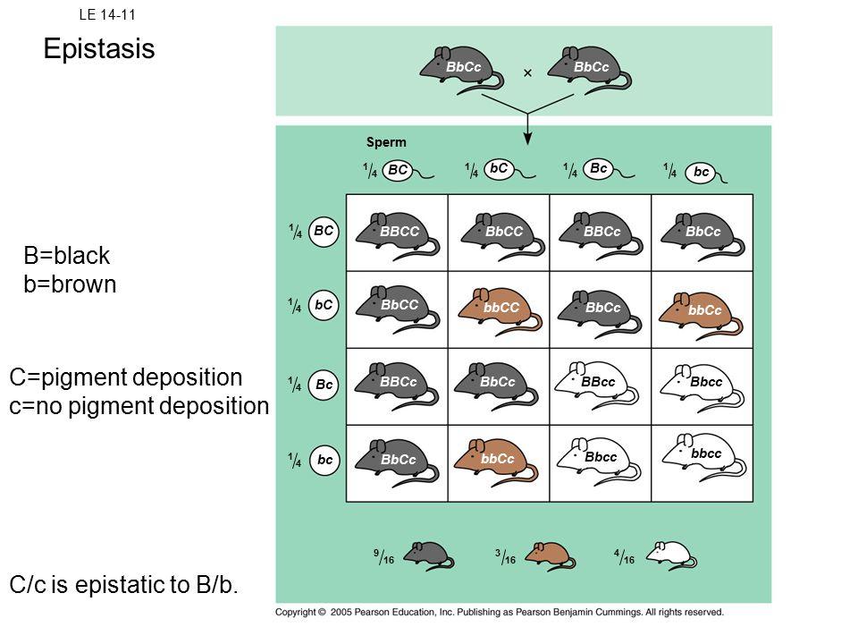 LE 14-11 Sperm BC bCBc bc BbCcBBCcBbCCBBCC BbCC bbCCBbCc bbCc BbccBBcc BbCcBBCc BbCc bbCc Bbcc bbcc BC bC Bc bc BbCc 1 4 1 4 1 4 1 4 1 4 1 4 1 4 1 4 9 16 3 4 B=black b=brown C=pigment deposition c=no pigment deposition Epistasis C/c is epistatic to B/b.