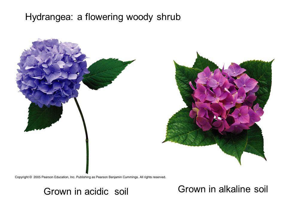 Hydrangea: a flowering woody shrub Grown in acidic soil Grown in alkaline soil