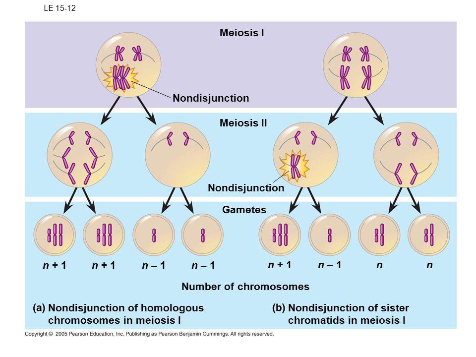 LE 15-12 Meiosis I Nondisjunction Meiosis II Nondisjunction Gametes n + 1 Number of chromosomes Nondisjunction of homologous chromosomes in meiosis I n + 1n – 1 n + 1n – 1nn Nondisjunction of sister chromatids in meiosis I