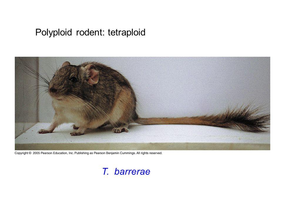 Polyploid rodent: tetraploid T. barrerae