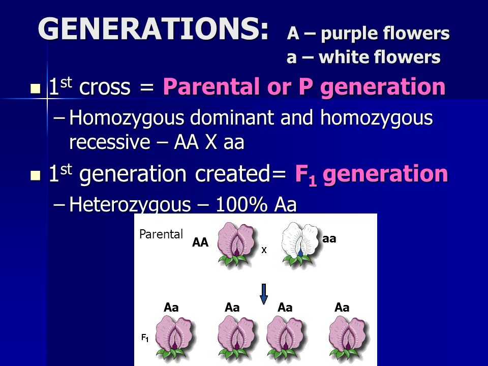 GENERATIONS: A – purple flowers a – white flowers 1 st cross = Parental or P generation 1 st cross = Parental or P generation –Homozygous dominant and