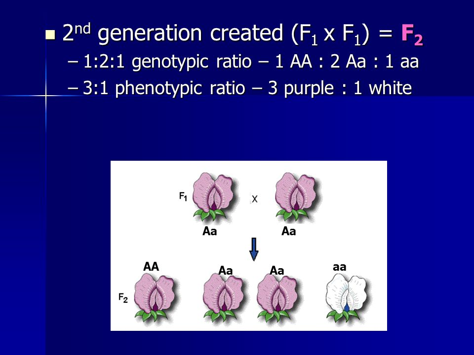 2 nd generation created (F 1 x F 1 ) = F 2 2 nd generation created (F 1 x F 1 ) = F 2 –1:2:1 genotypic ratio – 1 AA : 2 Aa : 1 aa –3:1 phenotypic ratio – 3 purple : 1 white AaAa AaAa AAaa