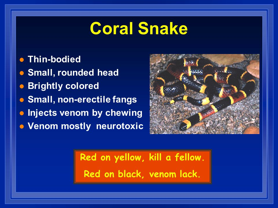 Coral Snake l Thin-bodied l Small, rounded head l Brightly colored l Small, non-erectile fangs l Injects venom by chewing l Venom mostly neurotoxic Red on yellow, kill a fellow.