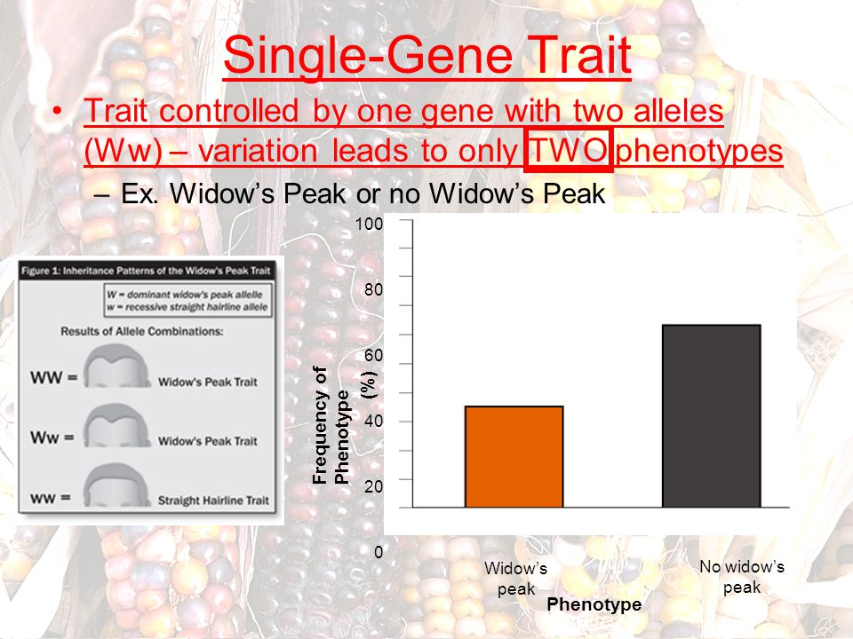 Single-Gene Trait Trait controlled by one gene with two alleles (Ww) – variation leads to only TWO phenotypes –Ex. Widow's Peak or no Widow's Peak Fre