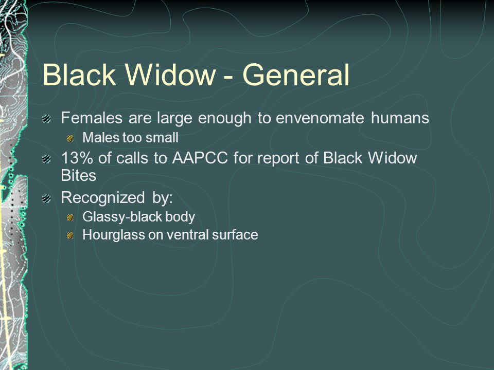 Black Widow - General Females are large enough to envenomate humans Males too small 13% of calls to AAPCC for report of Black Widow Bites Recognized b