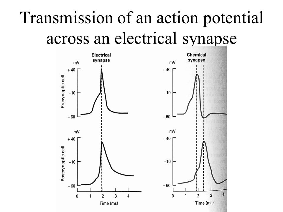 Transmission of an action potential across an electrical synapse