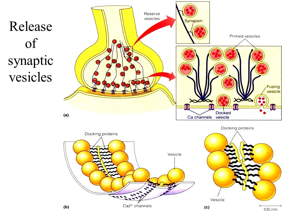 Release of synaptic vesicles