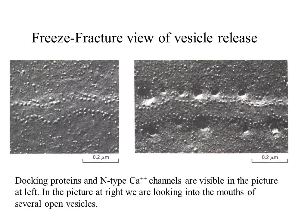 Freeze-Fracture view of vesicle release Docking proteins and N-type Ca ++ channels are visible in the picture at left. In the picture at right we are