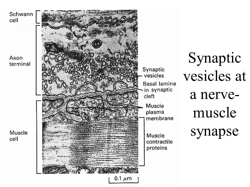 Synaptic vesicles at a nerve- muscle synapse