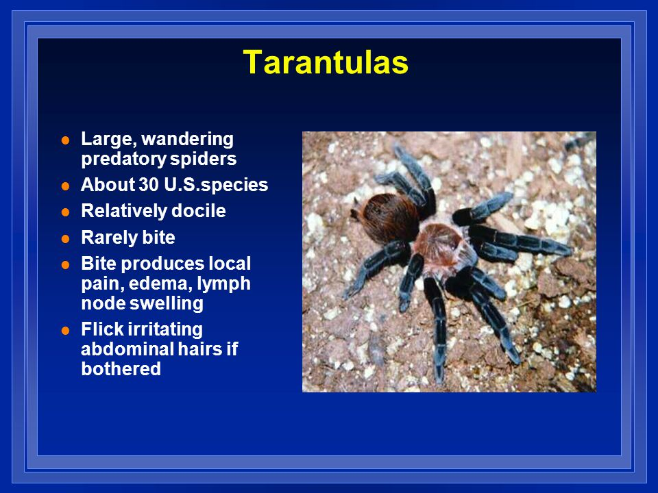 Tarantulas l Large, wandering predatory spiders l About 30 U.S.species l Relatively docile l Rarely bite l Bite produces local pain, edema, lymph node swelling l Flick irritating abdominal hairs if bothered