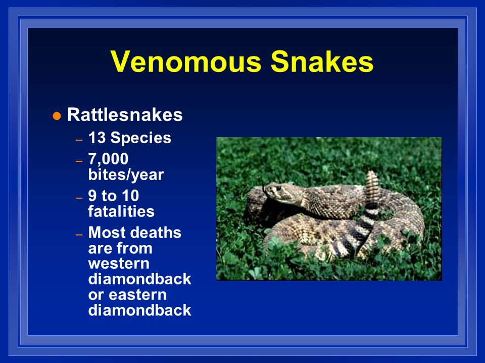 Venomous Snakes l Rattlesnakes – 13 Species – 7,000 bites/year – 9 to 10 fatalities – Most deaths are from western diamondback or eastern diamondback