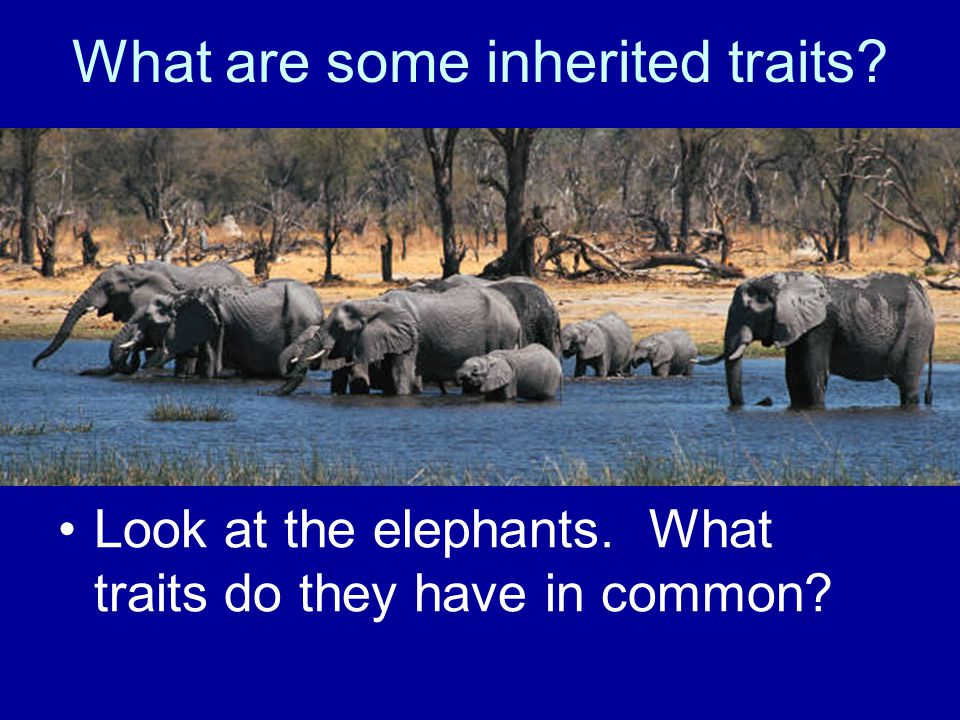 What are some inherited traits Look at the elephants. What traits do they have in common