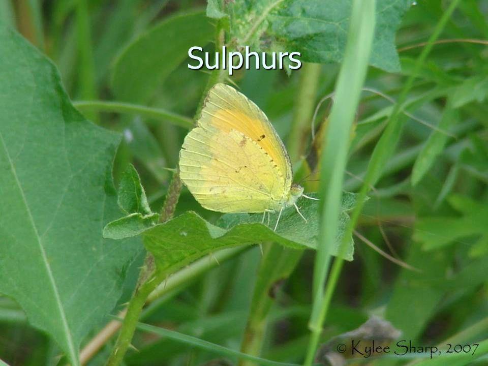 Sulphurs