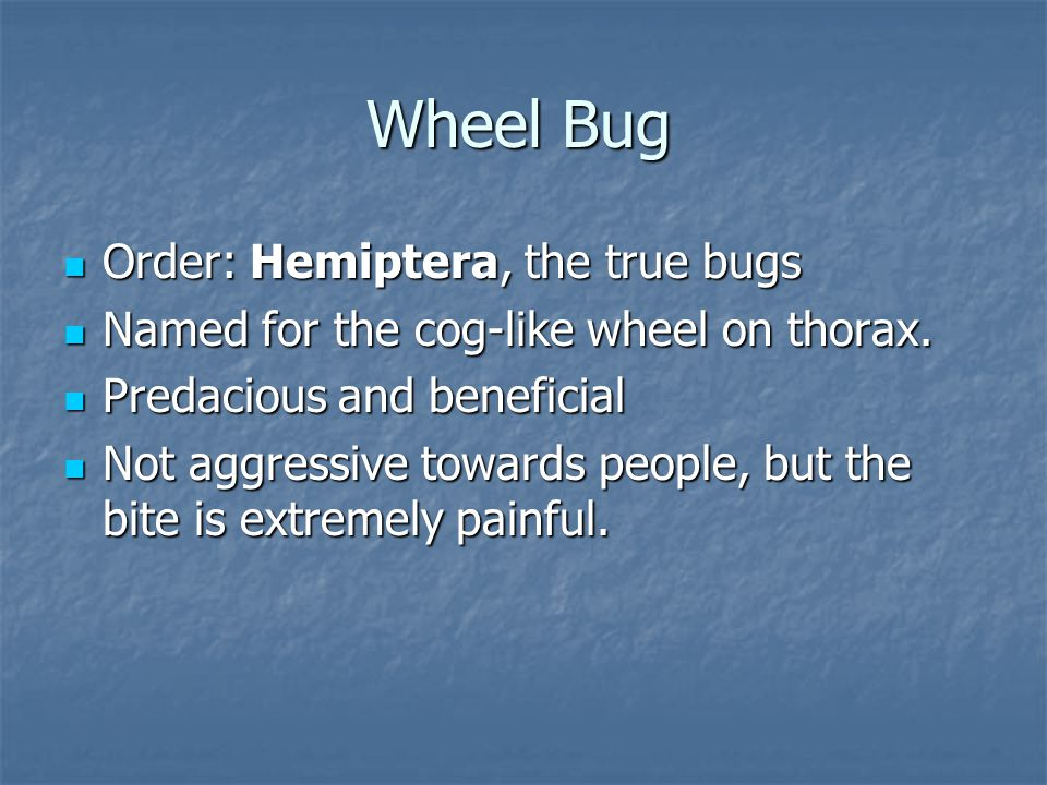 Wheel Bug Order: Hemiptera, the true bugs Order: Hemiptera, the true bugs Named for the cog-like wheel on thorax.