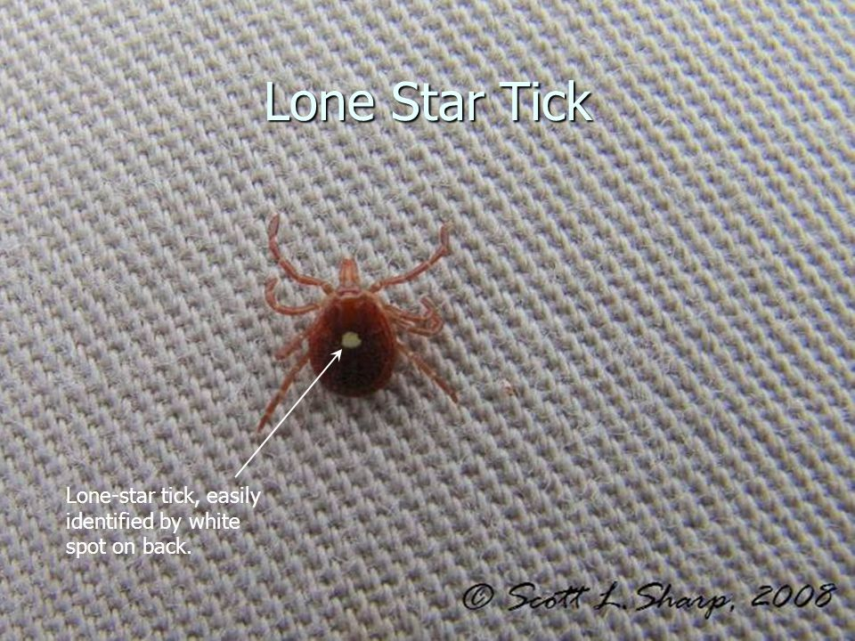 Lone Star Tick Lone-star tick, easily identified by white spot on back.
