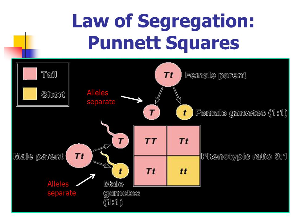 Law of Segregation: Punnett Squares Alleles separate