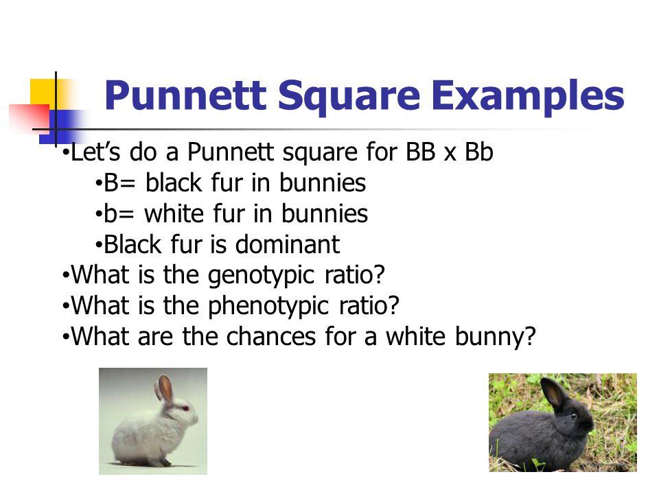 Punnett Square Examples Let's do a Punnett square for BB x Bb B= black fur in bunnies b= white fur in bunnies Black fur is dominant What is the genoty
