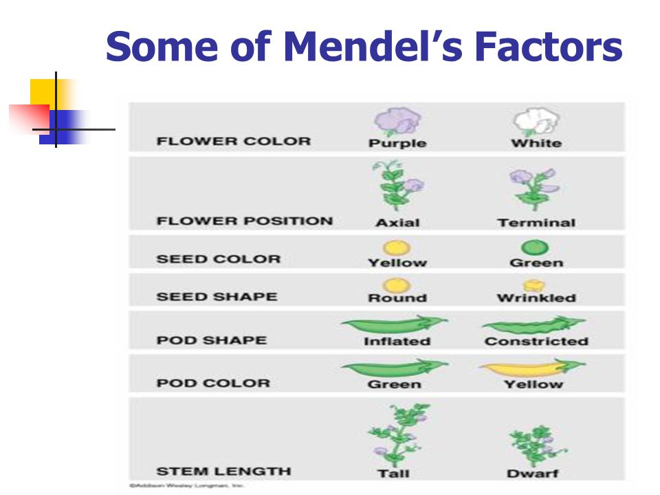 Mendel's Laws: Law of Independent Assortment Examples: Pea plants can be short or tall Their seeds can be green or yellow Short plants can have green or yellow seeds Tall plants can have green or yellow seeds So the inheritance of one does not affect the inheritance of the other.