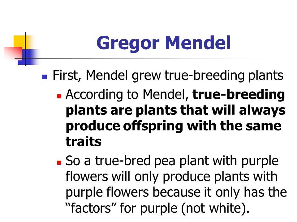 Gregor Mendel: P generation Mendel bred two opposite true-breeding plants For example, he bred a true-breeding purple flower pea plant and a true-breeding white flower pea plant He called this his P generation – parent generation