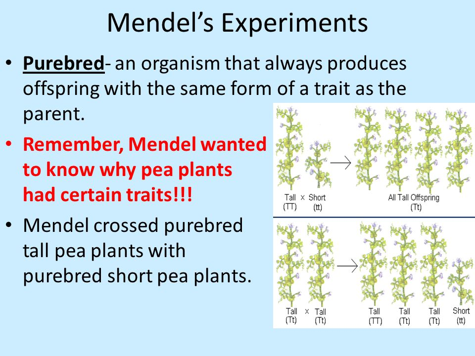 Mendel's Experiments Purebred- an organism that always produces offspring with the same form of a trait as the parent.