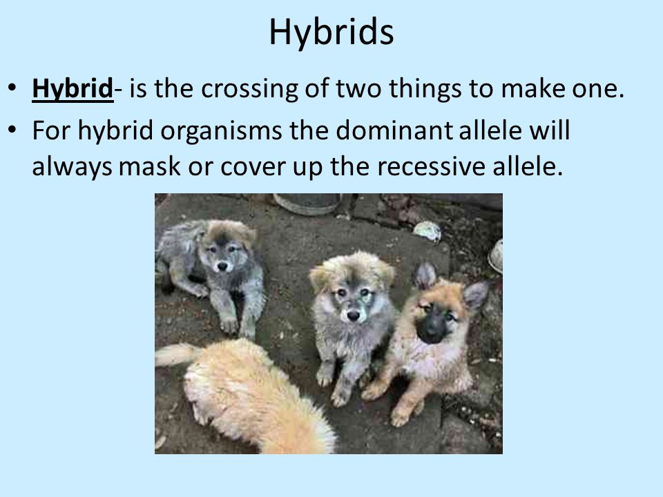 Hybrids Hybrid- is the crossing of two things to make one.