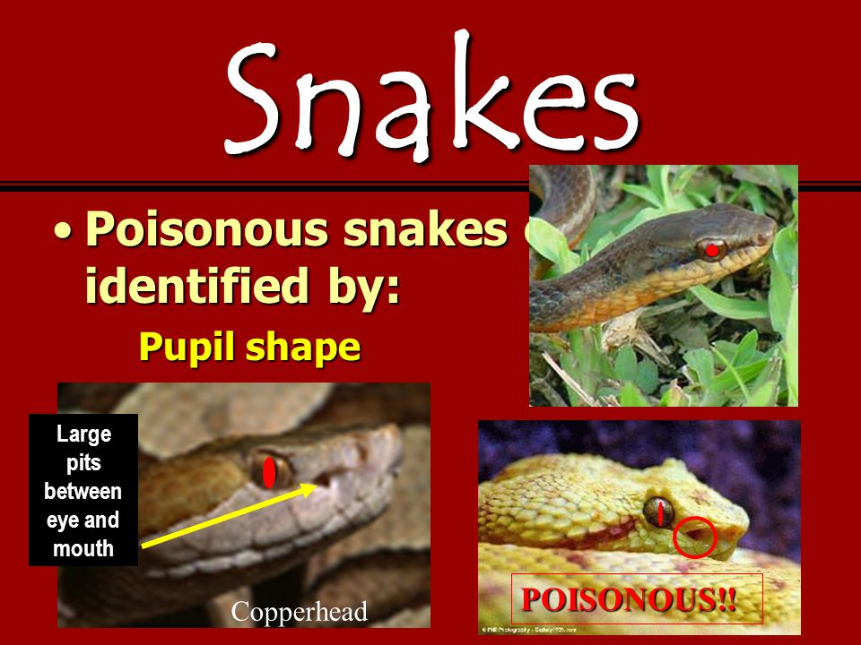 Snakes Poisonous snakes can be identified by:Poisonous snakes can be identified by: Pupil shape Copperhead Large pits between eye and mouthPOISONOUS!!